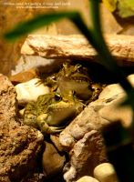 Two Frogs by Olvium
