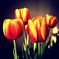 Red Tulips by maarew