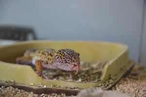 Leopard Gecko eating by A1Z2E3R