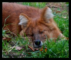 dhole: sleeping in the gras by morho