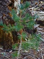 Pine Seedling by Synaptica