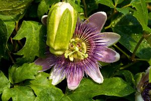 Passion flower by 6rimR3ap3r