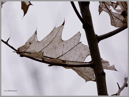 Oak Ghost Leaf by Mogrianne