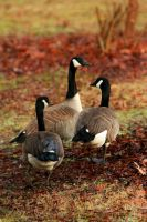 Branta canadensis by UndeterminedBreed