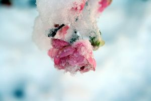 pink rose in the snow by DaFabs