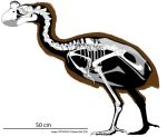 Sylviornis Skeletal Reconstruction by Miyess