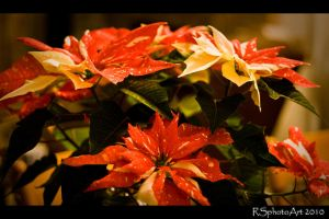 Spotted  Poinsettia by RSphotoArt