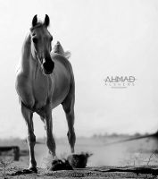 White Horse by ahmed-Alsheme