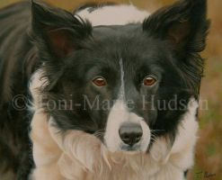 Jess - Border collie by Canis-Lupess