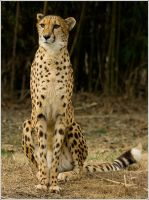 cheetah53 by redbeard31