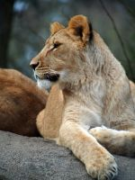 Lioness Keeping Watch by Squiddgee7734