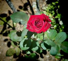 Lonely Rose by Tailgun2009
