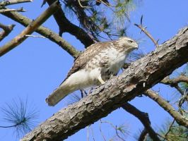 Cooper's Hawk by Blue-to-the-Bone