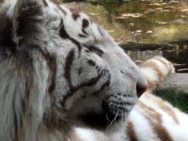2011 - White tiger 13 by Lena-Panthera