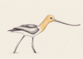 Avocet sketch by MF99K