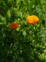 California Poppy 09 by botanystock