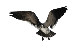 Seagull Png Precut 2 by FQPhotography