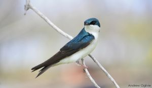 Tree Swallow by PrimalOrB