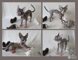 Sphynx Cat Doll Grey and Parchment by LimitlessEndeavours