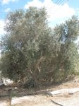 The olive tree out front by jochannon