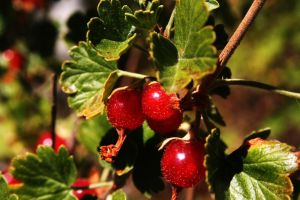 Strawberry's Wild Currants by greenwalled1