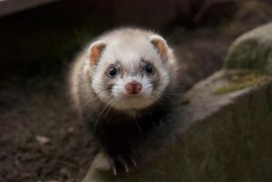 Sweet Ferret Ronja by Tinnef