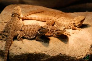 Bearded Dragons by Wild-Soul