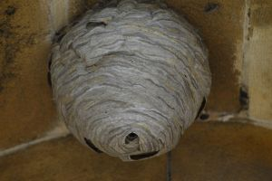Wasp Nest by Clangston