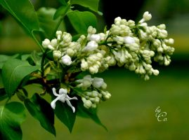 White Lilac by IamCo
