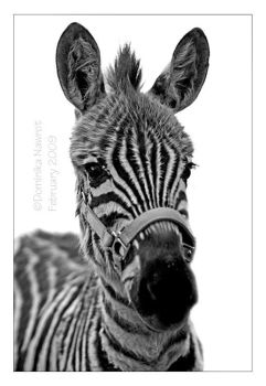 Baby Zebra by Goodbye-kitty975