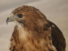 Red Tail Hawk 1 by BlueFireVixon