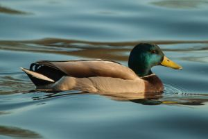 Winter mallard by NicoFroehberg