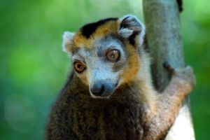 Crowned lemur III by TheHyleoroi