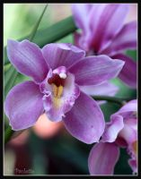How Bout A Purple Orchid Mom by shutterbugmom