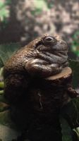 Ridiculously Fat Tree Frog by MBPanther