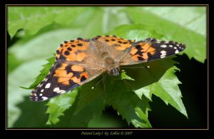 Painted Lady I 2090 by Eolhin