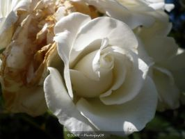 White Rose by Photoguy09