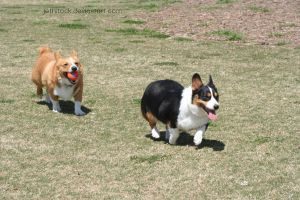 corgi herd 2 by jettstock