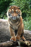 Sumatran tiger 19 by Sabbie89