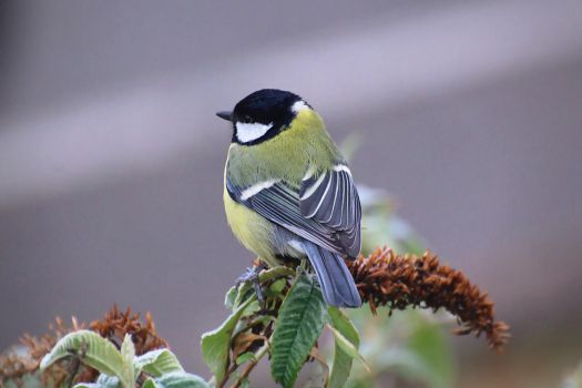 Great Tit by FurLined