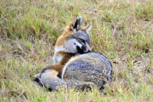 Catalina Island Fox (Urocyon littoralis catalinae) by Kiloueka