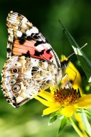 Painted Lady by tarheel4life