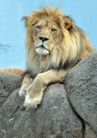 African Lion.3. by HecklingHyena
