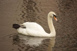 mute swan by bookscorpion