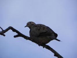 Dove 001 by presterjohn1