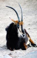 Zoo Photos - Sable Antelope by Macawi