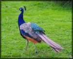 Peacock by Lougaria