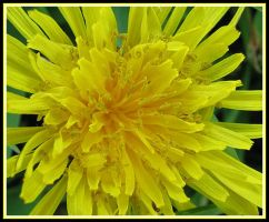 Dandelion by picworth1000wrds