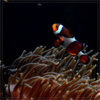 Clownfish by hmdll