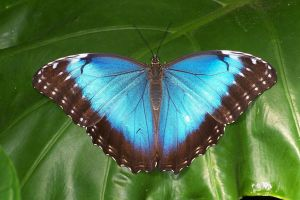 Blue Morpho Butterfly by ArtbyMom